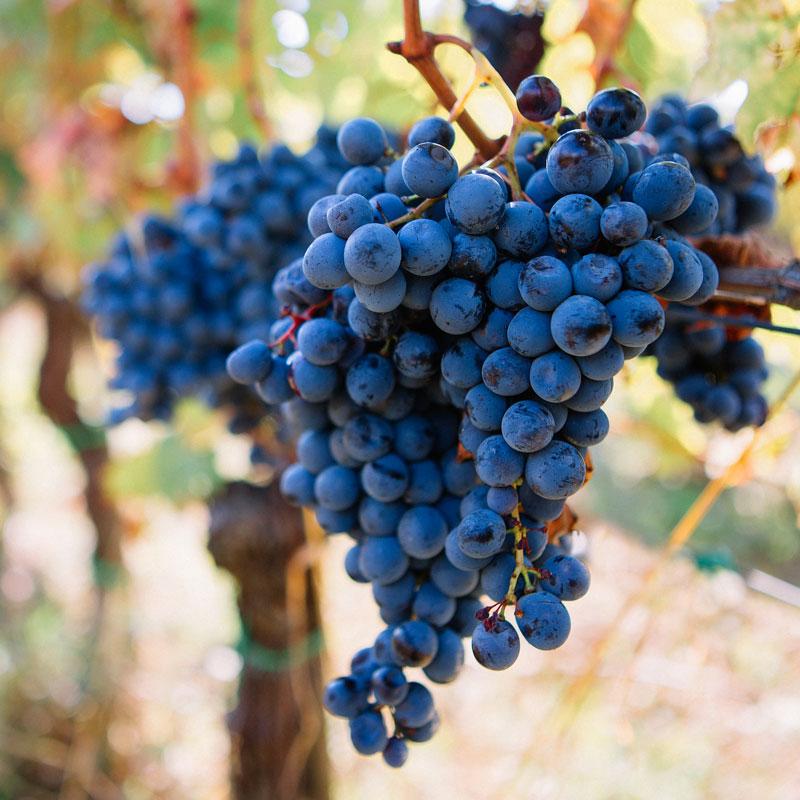 Enoproject grappolo d'uva